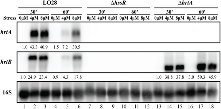 Transcriptional analysis of hrtAB expression during heme stress. Samples were taken from LO28 wild-type, Δ hssR and Δ hrtA cultures exposed to 4 or 8 μM hemin stress for 30 and 60 min, as well as from non-stressed cultures (0 μM). The northern blot was probed for hrtA <t>mRNA,</t> hrtB mRNA and 16S <t>rRNA</t> (loading control). Levels of hrtA mRNA and hrtB mRNA (normalized to 16S) relative to the '0 μM, 30 min' sample of each strain are shown below each lane.