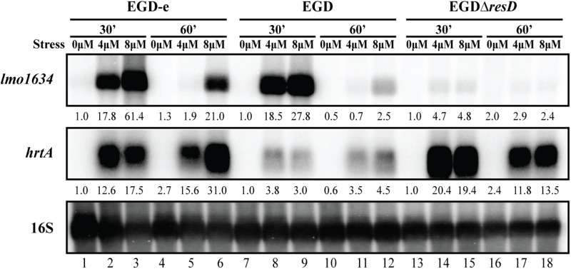 Transcriptional analysis of lmo1634 expression during heme stress. Samples were taken from wild-type EGD-e, wild-type EGD and mutant EGDΔ resD cultures exposed to 4 or 8 μM hemin stress for 30 and 60 min, as well as from non-stressed cultures (0 μM). Northern blots were probed for lmo1634 mRNA, hrtA mRNA and 16S rRNA (loading control). Levels of lmo1634 mRNA and hrtA mRNA (normalized to 16S) relative to the '0 μM, 30 min' sample of each strain are shown below each lane.
