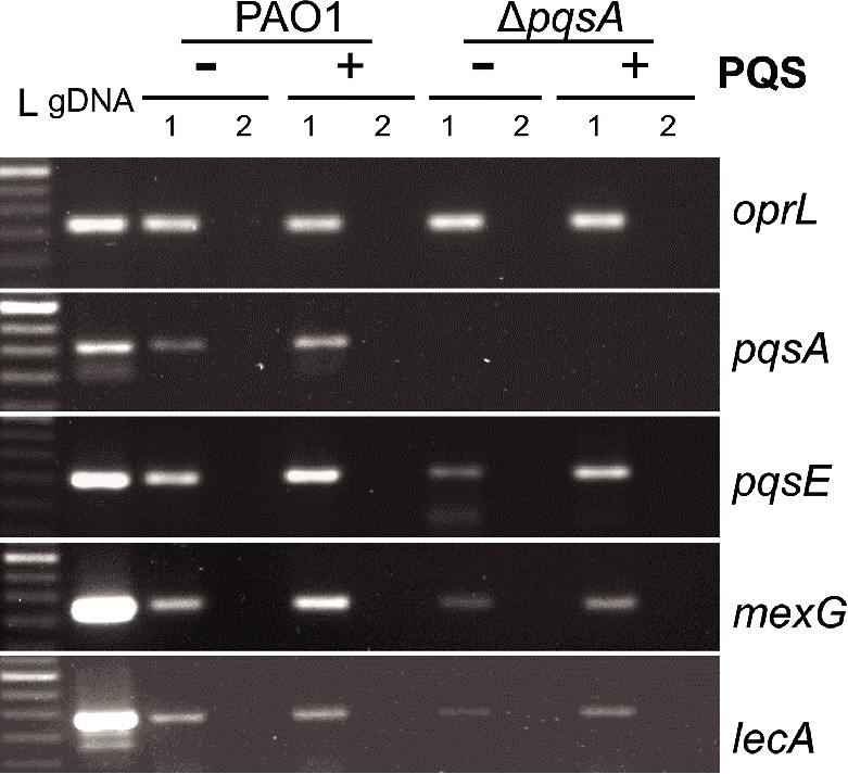 Analysis of pqsA , pqsE , mexG, and lecA transcription in WT and Δ pqsA Calu-3-ALI-infected cultures in the presence and absence of exogenous PQS. Expression of pqsA , pqsE , mexG, and lecA during infection of Calu-3-ALI cultures with PAO1 and Δ pqsA PAO1 at 3 hpi was assessed by RT-PCR. Calu-3-ALI cultures exposed to PQS (40 μM) or DMSO were infected at MOI 50 and total RNA prepared at 3 hpi. A 250-bp DNA region within the pqsA gene and a 200-bp DNA region within pqsE, oprL , mexG, and lecA genes were amplified from PAO1 genomic DNA (positive control); 1, cDNA; 2, corresponding RNA (negative control). L, 50 bp DNA ladder. Data are representative from 2 independent experiments.