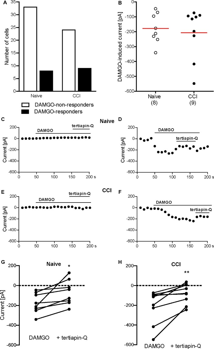 DAMGO (10 μM)-induced potassium currents in mouse DRG neurons obtained in the voltage ramp mode. (A) Number of neurons responding and non-responding to DAMGO from naïve and CCI mice. The proportion of DAMGO-responding to DAMGO-non-responding neurons from naïve vs. CCI mice did not differ significantly ( P = 0.596; Fisher's exact t -test). The neurons were sampled from cultures obtained from DRG of seven naïve and eight CCI mice. (B) Single neuron currents in DAMGO-responders. The data points represent single neuron values, and the red horizontal lines indicate the means. Numbers in brackets indicate the number of neurons. (C–F) Exemplary currents of DRG neurons non-responding (C) and responding (D) to DAMGO from naïve mice, and DRG neurons non-responding (E) and responding (F) to DAMGO from mice on day 2 following CCI. The DAMGO effects are shown before and during <t>tertiapin-Q</t> (100 nM) application. (G,H) Tertiapin-Q (100 nM)-mediated attenuation of DAMGO-induced currents in individual neurons from naïve mice ( n = 8 neurons; ∗ P = 0.0204, paired t -test) (G) and CCI mice ( n = 9 neurons; ∗∗ P = 0.0073, paired t -test) (H) . Only DAMGO-responding neurons are shown. Data points represent DAMGO-induced currents of the same neuron before and after application of tertiapin-Q. Dotted lines represent zero current. In all experiments, the currents were obtained by voltage ramps from a holding potential of –40 mV and measured at –80 mV in high potassium extracellular buffer (45 mM). Neurons were defined as responding to DAMGO if the resulting current was larger than three times the noise range.