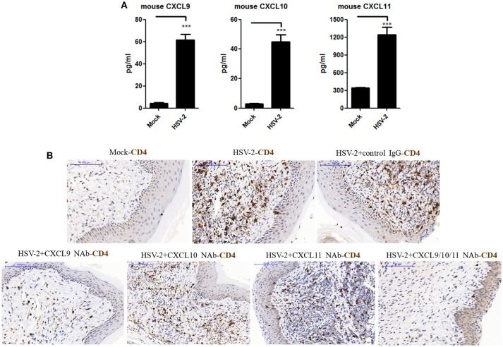 Contribution of HSV-2 infection-induced CXCR3 ligands to CD4 + T cell infiltration into mouse vagina. Seven days prior to HSV-2 challenge, BALB/c mice were injected with progesterone in multiple sites. One day prior to HSV-2 challenge, CXCL9, CXCL10, and CXCL11 neutralizing antibodies were delivered to the vagina of mice, alone or in combination, while isotype matched control IgG was used as the control. Mice were then anesthetized with pentobarbital sodium and challenged intravaginally with 10 μL/ mouse HSV-2 at a concentration of 6 × 10 7 PFU/ml or mock- challenged. Vaginal lavage fluids and cervical-vaginal tissues were collected at day 7 after challenge. (A) HSV-2 infection induces the production of mouse CXCR3 ligands. The protein levels of CXCL9 and CXCL10 ligands in vaginal lavage fluids were measured by CBA, and the protein level of CXCL11 was detected by ELISA. (B) CXCL9 mediates the migration of CD4 + T cells to the vaginal foci of infected mice. CD4 + T cells in infection foci were detected using anti-CD4 Ab by IHC. The scale bar indicates 100 μm. Data shown are mean ± S.D. ( n = 5 mice/group) of three independent experiments (A) . *** p