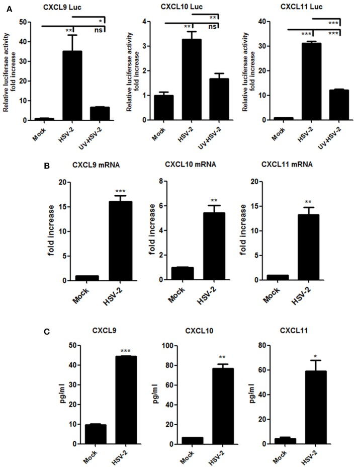 HSV-2 infection induces the production of CXCR3 ligands in human cervical epithelial cells. (A) HSV-2 infection activates the promoters of human CXCR3 ligands. ME180 cells in 24-well plates were co-transfected with 150 ng CXCL9-Luc, CXCL10-Luc or CXCL11-Luc, and 15 ng internal control plasmid phRL-TK. At 4 h post-transfection, cells were infected with HSV-2 or ultraviolet-inactivated HSV-2 (UV-HSV-2) at an MOI of 1 for 24 h. DLR assay was performed. Values for the samples were normalized using Renilla luciferase values and expressed as fold increase of the value induced in mock-infected samples. (B) HSV-2 infection induces the mRNA production of CXCR3 ligands. ME180 cells in 6-well plates were infected with HSV-2 at an MOI of 1 for 24 h. Cells were harvested and total RNA was extracted. The expression of CXCR3 ligands and GAPDH was evaluated by relative real-time quantitative PCR. The Ct values of GAPDH among all groups were equable and not overloaded. mRNA copies of CXCR3 ligands were normalized using GAPDH and expressed as fold increase of the value for the mock-infected control. (C) HSV-2 infection induces the production of CXCR3 ligands. As depicted in (B) , cell supernatants were collected, and the protein level of CXCR3 ligands was measured by CBA. Data shown are mean ± S.D. of three independent experiments (A, B, and C). * p