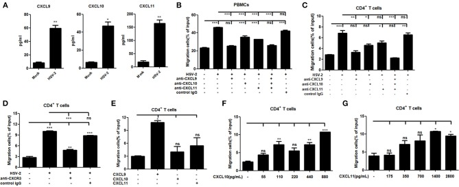 HSV-2 infection-induced CXCL9 plays a predominant role in mediating CD4 + T cell migration. (A) The concentrations of CXCR3 ligands in the supernatants of ME180 cells infected with HSV-2 or mock-infected with DMEM were detected by CBA. (B,C) CXCL9 induced by HSV-2 recruits the migration of PBMCs (B) and CD4 + T cells (C) . ME180 cells in 6-well plates were infected with HSV-2 at an MOI of 1 for 24 h. Cell supernatants were collected and added to the lower chamber of transwell plates in the absence or presence of anti-CXCL9, –CXCL10, or/and –CXCL11 neutralizing Ab or control Ab for 1 h. (D) Neutralization of CXCR3 reduces the migration of CD4 + T cells induced by HSV-2 infection. ME180 cells in 6-well plates were infected with HSV-2 at an MOI of 1 for 24 h. Cell supernatants were collected and added to the lower chamber of transwell plates. The activated CD4 + T cells were incubated with RPMI 1,640 medium containing anti-CXCR3 neutralizing Ab for 1 h and placed in the upper chamber. (E) Recombinant CXCL9 significantly induces the migration of CD4 + T cells. DMEM containing recombinant CXCL9, CXCL10, or CXCL11 (48 pg/mL, 55 pg/mL and 175 pg/mL, respectively; the lowest concentration induced by HSV-2 infection) was added to the lower chamber of transwell plates. (F,G) Recombinant CXCL10 or CXCL11 mediates the migration of CD4 + T cells in a dose-dependent manner. DMEM containing recombinant CXCL10 or CXCL11 was added to the lower chamber of transwell plates. CXCL10 or CXCL11 was started from 55 pg/mL and 175 pg/mL, respectively, at a concentration gradient of two times. The activated CD4 + T cells were placed in the upper chamber. After 2 h incubation, cells migrated to lower chambers were collected and counted using an automatic cell counter. Cells migration was expressed as percentage of input. Input cells in the upper chamber were 5 × 10 5 . Data shown are mean ± S.D. of three independent experiments (A–G) . ns, not significant, * p