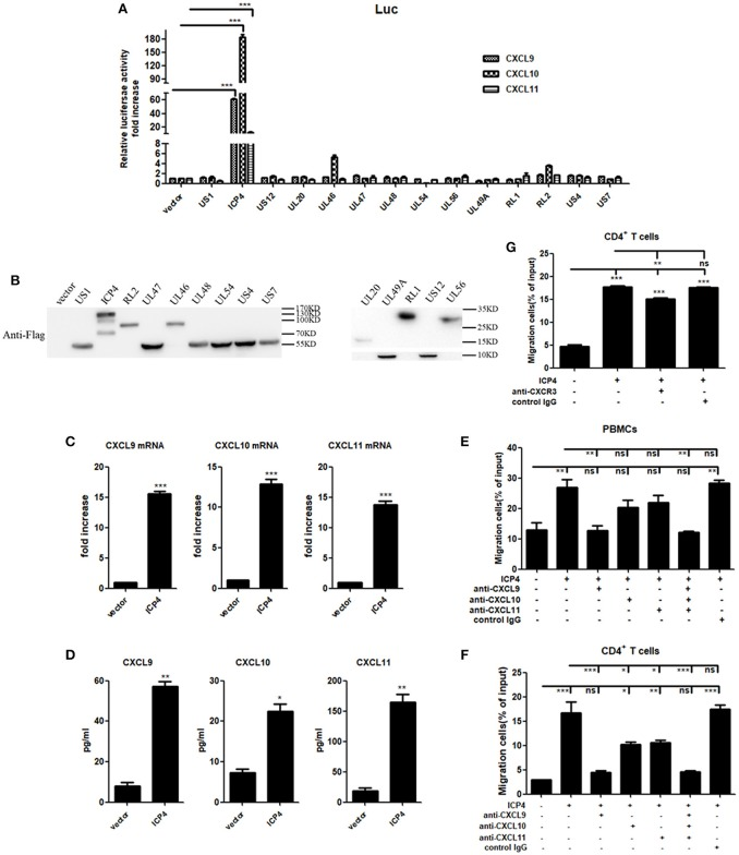 HSV-2 ICP4 promotes the production of human CXCR3 ligands. (A) ICP4 induces the activation of CXCR3 ligand promoters. ME180 cells in 24-well plates were transfected with 300 ng expression plasmid of HSV-2 gene or empty vector together with 150 ng CXCR3 ligand reporter and 15 ng phRL-TK. At 24 h post-transfection, DLR assay was performed. Values for the samples were normalized using Renilla luciferase values and expressed as fold increase of the value induced in cells transfected with empty vector. (B) The expression of HSV-2 genes was detected using anti-Flag Ab by Western Blot. ME180 cells were transfected with 3 μg HSV-2 gene expression plasmid for 24 h. The proteins were collected and detected using mouse anti-Flag Ab. (C) ICP4 induces the mRNA production of CXCR3 ligands. ME180 cells in 6-well plates were transfected with 3 μg ICP4 expression plasmid for 24 h. Cells were harvested and total RNA was extracted. The expression of CXCR3 ligands and GAPDH gene was evaluated by relative real-time quantitative PCR. The Ct values of GAPDH among all groups were equable and not overloaded. mRNA copies of CXCR3 ligands were normalized using GAPDH and expressed as fold increase of the value for the empty vector-transfected control. (D) ICP4 induces the production of CXCR3 ligands. As depicted in (C) , cell supernatants were collected, and the protein levels of CXCR3 ligands were measured by CBA. (E,F) CXCL9 induced by ICP4 recruits the migration of PBMCs (E) and CD4 + T cells (F) . ME180 cells in 6-well plates were transfected with 3 μg ICP4 expression plasmid for 24 h. Cell supernatants were collected and added to the lower chamber of transwell plates in the absence or presence of anti-CXCL9, –CXCL10, or/and –CXCL11 neutralizing Ab or control Ab for 1h. (G) Neutralization of CXCR3 reduces the migration of CD4 + T cells induced by ICP4. ME180 cells in 6-well plates were infected with HSV-2 at an MOI of 1 for 24 h. Cell supernatants were collected and added to the lower cham