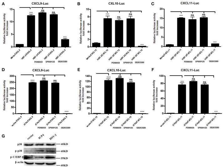 HSV-2 ICP4 regulates the expression of CXCR3 ligands via the p38 MAPK signaling pathway. (A–C) HSV-2 regulates the expression of CXCL9 (A) , CXCL10 (B) , and CXCL11 (C) via p38/MAPK signaling pathway. ME180 cells in 24-well plates were co-transfected with 150 ng CXCR3 ligand reporter and 15 ng phRL-TK. At 4 h post-transfection, cells were infected with HSV-2 at an MOI of 1 and supplemented with inhibitor PD98059, SP600125, or SB203580. DLR assay was performed at 24 h post-transfection. Values for the samples were normalized using Renilla luciferase values and expressed as fold increase of the value induced in mock-infected samples. (D–F) HSV-2 ICP4 regulates the expression of CXCL9 (D) , CXCL10 (E) , and CXCL11 (F) via p38/MAPK signaling pathway. ME180 cells in 24-well plates were co-transfected with 300 ng empty vector or ICP4 expression plasmid together with 150 ng CXCR3 ligand reporter and 15 ng phRL-TK. At 4 h post-transfection, cells were cultured in complete DMEM supplemented with inhibitor PD98059, SP600125, or SB203580. DLR assay was performed at 24 h post-transfection. Values for the samples were normalized using Renilla luciferase values and expressed as fold increase of the value induced in cells transfected with empty vector. (G) ICP4 activates p38 MAPK signaling pathway. ME180 cells were transfected with 3 μg ICP4 expression plasmid. The protein level of p38, phospho-p38 (p-p38) or phospho-C/EBP-β (p-C/EBP-β) was detected by Western Blot. Data shown are mean ± S.D. of three independent experiments (A–F) . ns, not significant, *** p