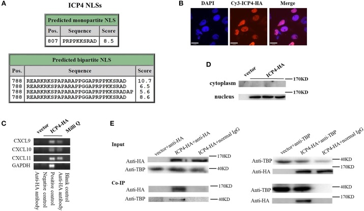 HSV-2 ICP4 binds to the promoters of CXCR3 ligands by interaction with TBP. (A) Schematic representation of the predicted NLSs of ICP4 amino acid (AA) sequence. (B) ICP4 is located in the nucleus. ME180 cells in 35-mm dishes with glass bottom were transfected with 2 μg empty vector or HA-tagged ICP4 expression plasmid for 24 h. Cells were stained with mouse anti-HA mAb, followed by Cy3-conjugated goat anti-mouse (red) as the secondary Ab. Cell nuclei (blue) were stained with DAPI. The images were obtained by fluorescence microscopy using 60 × objective. The scale bar indicates 21 μm. (C) The expression of ICP4 was stained using anti-HA mAb. (D) ICP4 binds to the promoters of CXCR3 ligands. ME180 cells were transfected with 3 μg empty vector or HA-tagged ICP4 expression plasmid for 24 h. Cells were lysed and subjected to ChIP assay using mouse anti-HA mAb, mouse anti-RNA polymerase II mAb (positive control) or mouse normal IgG (negative control) for immunoprecipitation. (E) ICP4 interacts with TBP. ME180 cells in 6-well plates were transfected with 3 μg empty vector or HA-tagged ICP4 expression plasmid for 24 h. Cells were lysed and subjected to co-immunoprecipitation (IP) using rabbit anti-HA or anti-TBP Ab. Rabbit normal IgG was used as a negative control. IP products and 5% input samples were examined using rabbit anti-HA and rabbit anti-TBP Abs by western blot. One representative out of three independent experiments is shown (B–E) .