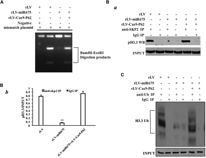 miR675 Inhibits DNA Damage Repair and Decreases Aging Histone H3.3 Degradation in the Human Mesenchymal Stem Cells Infected with rLV, rLV-miR675, and rLV-miR675 Plus rLV-Cas9-P62, Respectively (A) Restriction endonuclease analysis with BamHI and EcoRI for plasmid DNA injury repair. (B) (a) Anti-SKP2 coIP followed by western blotting with anti-histone 3.3. IgG IP was the negative control. INPUT refers to western blotting with anti-histone H3.3. (b) The gray scan analysis of positive bands. (C) Anti-Ub coIP followed by western blotting with anti-histone H3.3. IgG IP was the negative control. INPUT refers to western blotting with β-actin.
