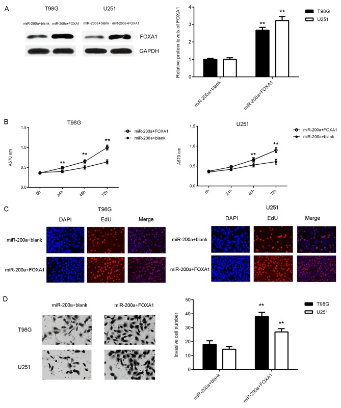 T98G and U251 cells which overexpressed miR-200a were transfected with a FOXA1 expression plasmid or blank vector. Following transfection, (A) western blotting was performed to examine the expression of FOXA1 protein. (B) An MTT, (C) EdU and (D) transwell assay were then performed to assess cell proliferation, viability and invasion, respectively. The magnification used for the EdU and transwell assays were ×40 and ×200, respectively. **P