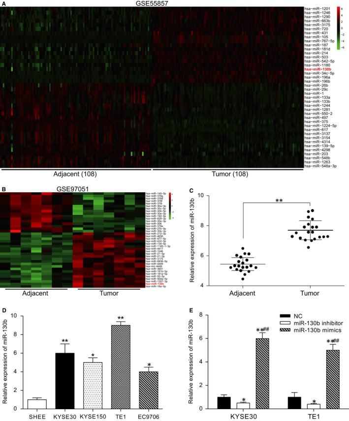 MiR‐130b is highly expressed in ESCC tissues and cell lines. (A) Data from GSE 55857: the differentially expressed mi RNA s are illustrated in a heatmap. MiR‐130b was part of the overexpression category. (B) Data from GSE 97051: the differentially expressed mi RNA s are illustrated in a heatmap. MiR‐130b was part of the overexpression category. (C) The qRT ‐ PCR results showed the overexpression of miR‐130b in the tumour tissues. ** P