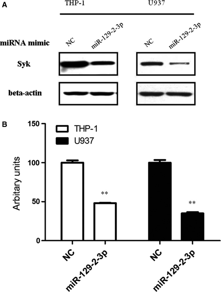 The relative protein levels of gene SYK in cells transfected with mi RNA mimics. (A) THP ‐1 or U937 cells were transfected with 50 nM mimic control or the miR‐129‐2‐3p mimic, respectively. After 48 hours of transfection, cells were harvested and the total protein lysates were analysed for Syk protein levels by Western blotting. Beta‐actin served as the loading control. (B) Quantifications of immunoblotting were expressed as mean ± SD from three independent experiments. ** P