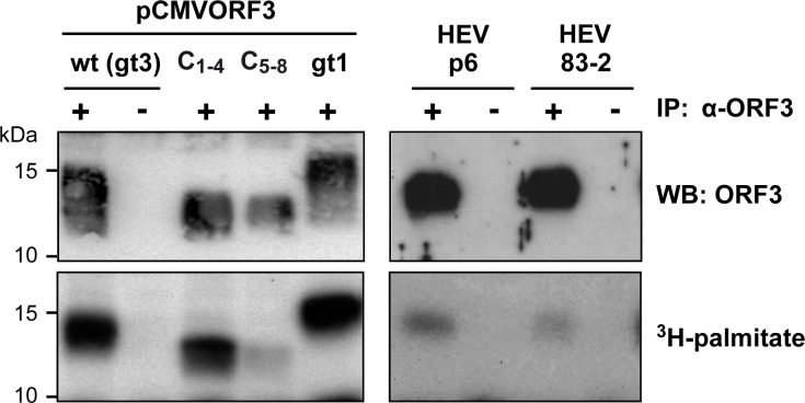 HEV ORF3 protein is palmitoylated. Protein lysates from S10-3 cells transfected with pCMVORF3, pCMVORF3 C1-4 , pCMVORF3 C45-8 or pCMVORF3_gt1 and from Hep293TT cells replicating the full-length p6 or 83–2 HEV clone were prepared 1 or 6 days post-transfection, respectively, and subjected to immunoprecipitation with either anti-ORF3 pAb (+) or non-relevant rabbit serum (-). After immunoprecipitation, the elution samples were separated by 17% SDS-PAGE and subjected to either immunoblot with anti-ORF3 pAb followed by chemiluminescence revelation or autoradiography (40 d of exposure).