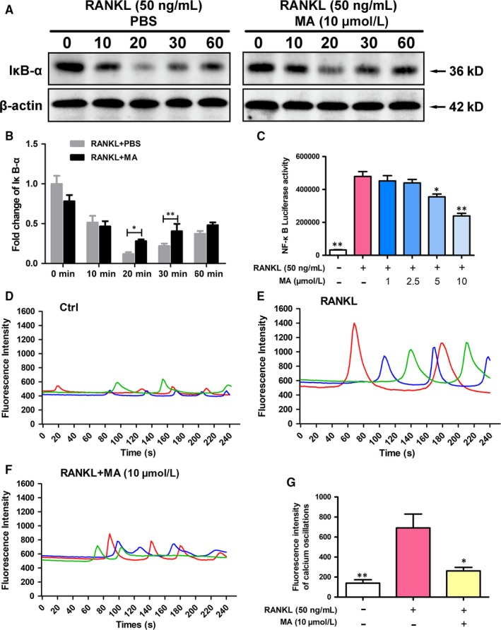 Madecassoside ( MA ) suppresses NF ‐κB activation and calcium oscillation during osteoclastogenesis. (A) Representative images of western blots reflecting the expression level of IĸB‐α normalized to β‐actin. (B) Quantitative analysis of the fold change in IĸB‐α expression after MA (10 μmol L −1 ) treatment. (C) The bar graph depicts the NF ‐κB luciferase activity of RAW 264.7 cells stably transfected with an NF ‐κB luciferase reporter construct. Cells were treated with varying densities of MA and stimulated by GST ‐ rRANKL (50 ng/mL) for 6 h. (D) Representative images of Ca 2+ oscillation patterns without stimulation by RANKL (M‐ CSF only). (E) Representative images of calcium fluctuation patterns stimulated by RANKL . (F) Representative images of calcium fluctuation patterns stimulated by MA (10 μmol L −1 ) + RANKL . (G) Quantitative analysis of the amplitude of the fluorescence intensity of calcium oscillations in each group. Lines with different colours in each image represent the results of three independent experiments. The data in the figures represent the means ± SD . Significant differences between the treatment and control groups are indicated as * P