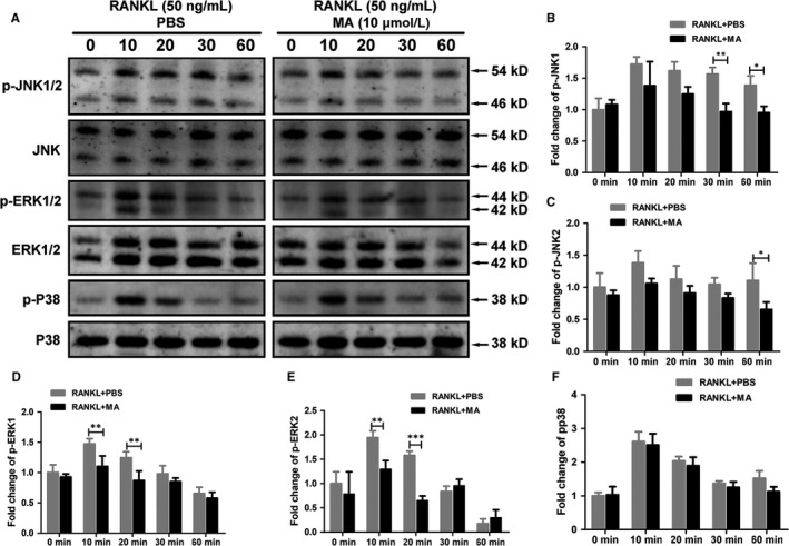 Madecassoside ( MA ) inhibits the RANKL ‐induced MAPK signaling pathway. (A) Representative western blot images of p‐ JNK 1/2, JNK , p‐ ERK 1/2, p‐p38, p38, ERK , and <t>β‐actin</t> at 0, 10, 20, 30, 60 min stimulated by GST ‐ rRANKL (50 ng/mL) with or without MA (10 μmol L −1 ). (B‐F) The relative ratios of phosphorylated proteins to unphosphorylated proteins were quantitatively determined. The data in the figures represent the means ± SD . Significant differences between the treatment and control groups are indicated as * P