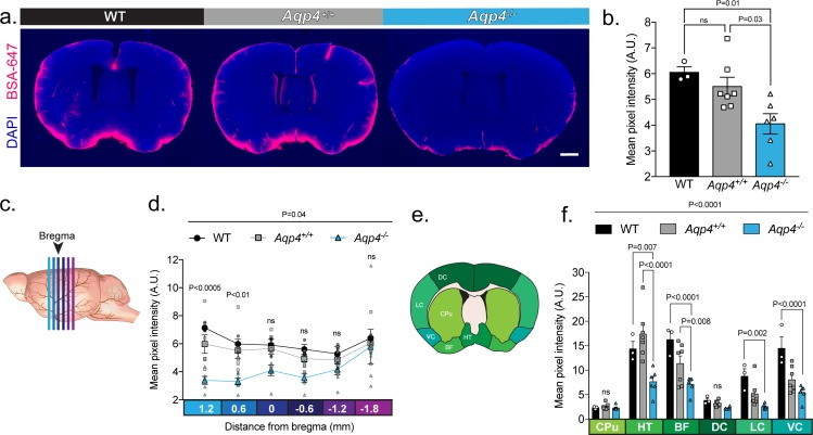 UNC: CSF tracer influx is decreased in Aqp4 KO mice. ( a ) Coronal sections from a C57BL/6 wild-type mouse (WT), CD1 background strain control ( Aqp4 +/+ ), and Aqp4 KO mice ( Aqp4 -/- ) showing a fluorescent CSF tracer, BSA-647 and co-labeling with DAPI. Scale bar: 1 mm ( b ) Mean pixel intensity in arbitrary units (A.U.) for six brain sections of each mouse for all three groups. n = 3 (WT), 7 ( Aqp4 +/+ ), 6 ( Aqp4 -/- ). One-way ANOVA Tukey's multiple comparisons test, Interaction term: p = 0.0110, F = 6.512, ns: not significant. ( c ) Diagram showing the anterior-posterior range of the quantified coronal sections relative to bregma from (b). ( d ) Quantification of the slices shown in (c) + 1.2 to −1.8 mm from bregma. Repeated measures two-way ANOVA with Tukey's multiple comparisons test, Interaction term: p = 0.038, F = 2.085, p values shown are comparisons of WT and Aqp4 +/+ vs. Aqp4 -/- . ( e ) Diagram depicting the ROIs included in the regional analysis of brain slices at +0.6 mm from bregma. CPu: caudoputamen; HT: hypothalamus; BF: basal forebrain; DC: dorsal cortex; LC: lateral cortex; VC: ventral cortex. ( f ) Mean pixel intensity of brain regions shown in (e) for coronal sections + 0.6 mm from bregma. Repeated measures two-way ANOVA Tukey's multiple comparisons test, Interaction term: p