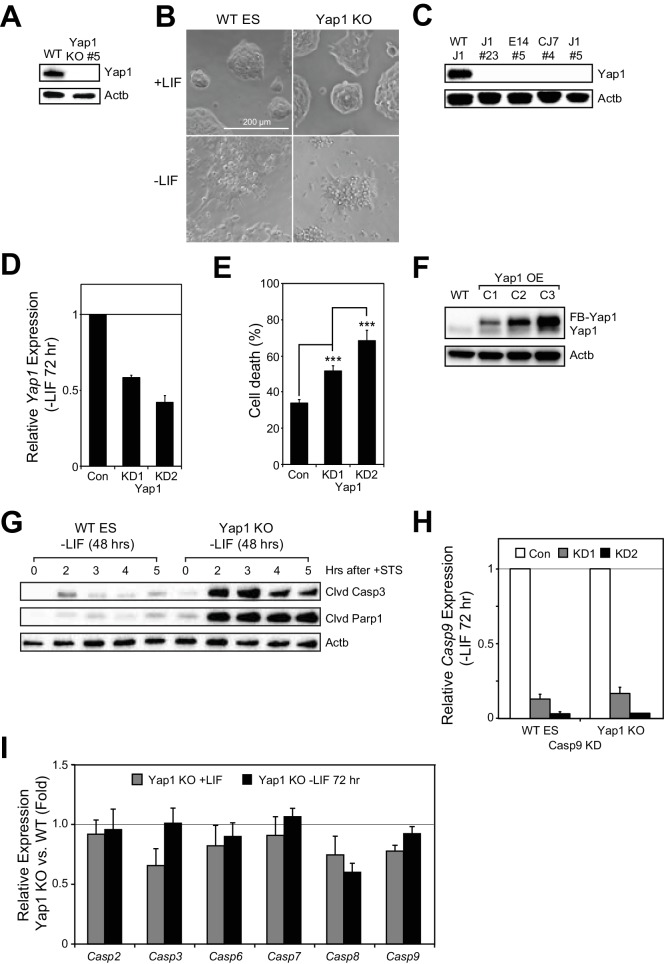 Yap1 expression in KO/KD/OE cell lines, STS sensitivity, and caspase expression during ES cell differentiation. ( A ) Immunoblot of Yap1 to verify knockout in Yap1 KO cells. β-actin was used as a loading control. ( B ) Representative brightfield microscopy images of WT and Yap1 KO ES cells in ±LIF. Scale bar, 200 μm. ( C ) Immunoblot of Yap1 to verify knockout of Yap1 in three different ESC lines (J1, E14, and CJ7). β-actin was used as a loading control. J1 clone #5 was used as a positive control for knockout. ( D ) RT-qPCR measuring the expression of Yap1 after lentiviral shRNA-mediated Yap1 KD in differentiating WT ESCs (-LIF 72 hr). ( E ) LDH assay measuring cell death of Yap1 KD vs. control KD cells during differentiation (-LIF 72 hr). ( F ) Immunoblot of Yap1 to verify stable overexpression (OE) of FLAG-Bio-Yap1 in three different clones compared to WT ESCs. β-actin was used as a loading control. ( G ) Immunoblot of cleaved Casp3 and cleaved Parp1 in WT and Yap1 KO cells that had been treated with 1 μM STS for the indicated number of hours during differentiation (treatment started 43–48 hr after withdrawal of LIF depending on the length of STS treatment). ( H ) RT-qPCR measuring the expression of Casp9 upon shRNA-mediated lentiviral KD in WT and Yap1 KO cells during differentiation (72 hr) relative to empty vector KD. ( I ) RT-qPCR measuring the expression of Casp2, Casp3, Casp6, Casp7, Casp8, and Casp9 in Yap1 KO cells compared to WT cells in ±LIF. All data are expressed as mean ±standard deviation (n = 3 independent samples). Two sample two-tailed t-test compared to WT or whatever is specified on the y-axis: *=0.05 > P > 0.01. **=0.01 > P > 0.001. ***=0.001 ≥ P.