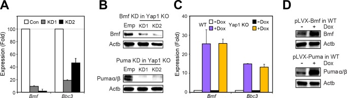 Verification of KD and OE of pro-apoptotic factors Bmf and Puma. ( A ) RT-qPCR measuring the expression of Bmf and Puma in Yap1 KO cells during differentiation (48 hr) relative to empty vector KD (n = 3). ( B ) Immunoblot of Bmf and Puma after KD in Yap1 KO cells during differentiation (48 hr) relative to empty vector KD. β-actin was used as a loading control. ( C ) RT-qPCR measuring the expression of Bmf and Puma in WT and Yap1 KO ESCs ± Dox (24 hr) in +LIF (n = 2). ( D ) Immunoblot of Bmf and Puma after OE in WT ESCs in +LIF. β-actin was used as a loading control.