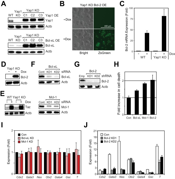 Modulation of the expression of individual anti- or pro-apoptotic genes influences cell death during differentiation. ( A ) Immunoblot of Yap1 and Bcl-xL after OE in Yap1 KO cells relative to WT or empty vector Yap1 KO in +LIF. β-actin was used as a loading control. ( B ) Representative brightfield and fluorescent microscopy images of Yap1 KO cells showing ZsGreen fluorescence ±Dox. Scale bar, 400 μm. ( C ) RT-qPCR measuring the expression of Bcl-2 in WT and Yap1 KO cells during differentiation (72 hr)±Dox (48 hr, 500 ng/mL). ( D ) Immunoblot of Bcl-2 in Yap1 KO cells ± Dox (48 hr, 500 ng/mL) in +LIF. ( E ) Immunoblot of Taz in WT and Yap1 KO cells ± Dox (48 hr, 500 ng/mL) in +LIF. ( F ) Immunoblot of Bcl-xL and Mcl-1 after siRNA KD in WT cells in -LIF (48 hr). ( G ) Immunoblot of Bcl-2 after shRNA KD in -LIF (72 hr). ( H ) Quantification of fold increase in cell death from Figure 6E and F observed upon KD of Bcl-xL, Mcl-1, or Bcl-2, relative to control KD, in -LIF (72 hr). ( I ) RT-qPCR measuring the expression of lineage markers in WT cells transfected with siRNA against Bcl-xL or Mcl-1 in -LIF (72 hr). Expression is indicated as a fold change compared to control siRNA. ( J ) RT-qPCR measur ing the induction of lineage markers in WT cells transduced with shRNA against Bcl-2 in -LIF relative to +LIF (72 hr). All data are expressed as mean ±standard deviation (n = 3 independent samples). Two sample two-tailed t-test compared to WT or whatever is specified on the y-axis: *=0.05 > P > 0.01. **=0.01 > P > 0.001. ***=0.001 ≥ P.