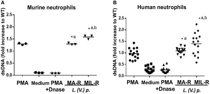 Murine and human neutrophils release more dsDNA when exposed to L. (V) p . strains that are resistant to either MA or MIL. Bone marrow derived murine neutrophils (A) and blood-derived human neutrophils from healthy donors (B) were exposed to L. (V.) p . of the indicated susceptibility at a 5:1 MOI. As controls, incubations with PMA, PMA + DNase or without stimulus were also performed. Four hours later, NET formation was quantified by measuring the levels of double stranded DNA (dsDNA) released in the supernatant using the <t>PicoGreen</t> fluorescent dye assay. * p