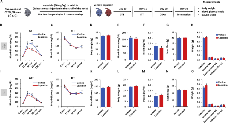 Whole-body chemical ablation of TRPV1 sensory neurons improves glucose tolerance in a sex-dependent manner : Five-week-old male and female C57BL/6J mice were subcutaneously injected into the scruff of the neck with capsaicin (50 mg/kg) or vehicle once per day for three consecutive days. Ten days post-treatment, mice were subjected to metabolic phenotyping tests. A. Schematic of the experimental design. B. Glucose tolerance test (males). C. Insulin tolerance test (males). D. Body weight (males). E. Random-fed blood glucose (males). F. Random-fed insulin levels (males). G. Lean mass evaluated by DEXA analysis (males). H. Quantification of fat mass by DEXA analysis (males). I. Glucose tolerance test (females). J. Insulin tolerance test (females). K. Body weight (females). L. Random-fed blood glucose (females). M. Random-fed insulin levels (females). N. Lean mass evaluated by DEXA analysis (females). O. Quantification of fat mass by DEXA analysis (females). Data represent mean ± SEM. ∗ p ≤ 0.05, ∗∗ p ≤ 0.01 (n = 6–7 per group).