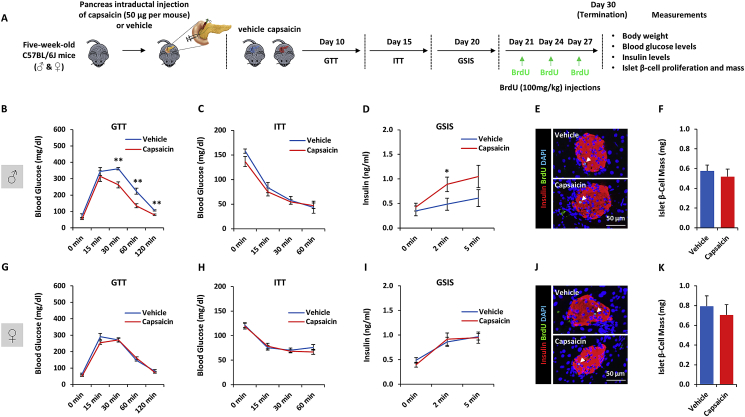 Chemodenervation of pancreas-projecting TRPV1 afferents enhances β-cell function and glucose tolerance in a sex-dependent manner: Five-week-old male and female C57BL/6J mice received a pancreatic intraductal injection of 50 μg of capsaicin per 100 μl of vehicle or vehicle alone. Ten days post-treatment, metabolic phenotyping was performed. A. Schematic of the experimental design. B. Glucose tolerance test (males). C. Insulin tolerance test (males). D. Glucose-stimulated insulin secretion (males). E. Representative fluorescence images of pancreases co-stained for BrdU (green), insulin (red) and DAPI (blue). Pancreases were harvested from male mice injected with vehicle (upper panel) or capsaicin (lower panel). F. Quantification of β-cell mass (males). G. Glucose tolerance test (females). H. Insulin tolerance test (females). I. Glucose-stimulated insulin secretion (females). J. Representative fluorescence images of pancreases co-stained for BrdU (green), insulin (red) and DAPI (blue). Pancreases were harvested from female mice injected with vehicle (upper panel) or capsaicin (lower panel). K. Quantification of β-cell mass (females). Data represent mean ± SEM. ∗ p ≤ 0.05 and ∗∗ p ≤ 0.01 (n = 4–6 per group).