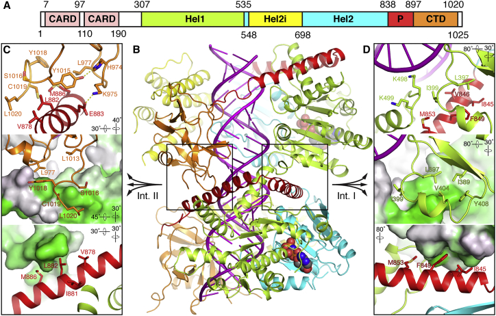 Atomic Model of the MDA5-dsRNA Filament (A) Domain structure of mouse MDA5. CARD, caspase recruitment domain; CTD, C-terminal domain; Hel1 and Hel2, first and second RecA-like helicase domains; Hel2i, Hel2 insert domain; P, pincer domain. The same color code and domain abbreviations are used in subsequent panels and in Figures 1 , 7A, and 7 D. (B) Overview of the refined atomic model of the MDA5-dsRNA filament. Two adjacent MDA5 subunits and 28 bp of dsRNA are shown from the Twist74 structure. <t>RNA</t> is in magenta. The bound <t>AMPPNP</t> molecules are shown in sphere representation. The two filament-forming interfaces are boxed. (C and D) Close-up views of filament interface II (C) and interface I (D). The top panels show side chains forming key contacts, with hydrogen bonds shown as yellow dashed lines. In the middle panels the lower protomer in (B) is shown in surface representation colored by hydrophobicity from gray to green, with green being the most hydrophobic. In the lower panels, the upper protomer in (B) is shown in surface representation colored by hydrophobicity. The orientation of the view relative to (B) is indicated for each panel. See also Figure S3 and Videos S1 , S2 , S3 , S4 , and S5 .