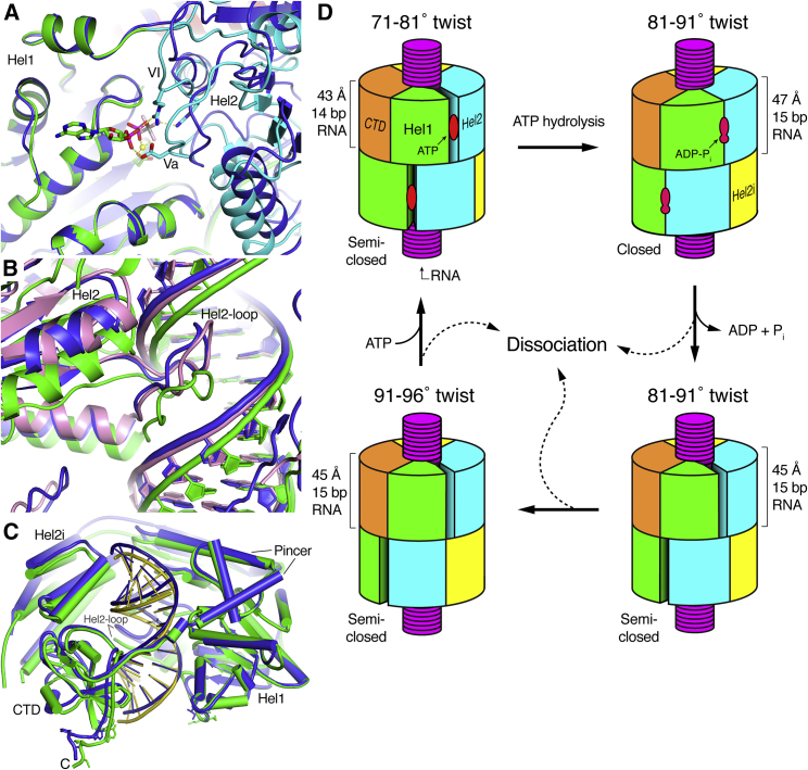 Comparison of the Closed ADP-AlF 4 -Bound Structure with the Semi-open Structures and Schematic Model of the ATPase Cycle and Proofreading Mechanism of MDA5 For a Figure360 author presentation of Figure 7, see https://doi.org/10.1016/j.molcel.2018.10.012 . (A) Close-up view of the nucleotide-binding site and Hel1-Hel2 domain interface. The Twist74 AMPPNP-bound structure (blue) was superimposed on the ADP-AlF 4 -bound structure (colored by domain as in Figure 2 ) using the Hel1 domain as the reference. Nucleotide-binding motifs Va and VI are labeled. Only the ADP-AlF 4 nucleotide is shown for clarity. (B) Close-up view of the Hel2-loop and its interactions with the dsRNA. The Twist74 (blue) and Twist87 (pink) AMPPNP-bound structures are superimposed onto the ADP-AlF 4 -bound structure (green) using Hel1 as the reference. (C) Overview of Twist74 (blue) superimposed on the ADP-AlF 4 -bound structure (green) using Hel1 as the reference. (D) Model of the ATPase cycle and proofreading mechanism. Only two filament protomers are shown for clarity. The low-twist (71°–81°) structures correspond to the ATP-bound catalytic ground state, the intermediate-twist (81°–91°) ADP-AlF 4 -bound structure is the transition state, and the intermediate- and high-twist (91°–96°) states represent nucleotide-free states. The four panels relate to the panels in Figures 3 C–3F. See also Videos S1 , S2 , S3 , S4 , and S5 . Figure360: An Author Presentation of Figure 7