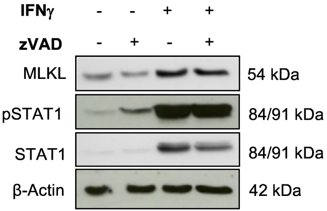 Caspase activity is dispensable for IFNγ-induced MLKL expression. EFM-192A cells were treated with 1.5 ng/ml IFNγ and/or 20 μM zVAD.fmk for 24 hours. Protein expression of MLKL, phospho-STAT1 (pSTAT1), STAT1 and β-Actin was analyzed by Western blotting.