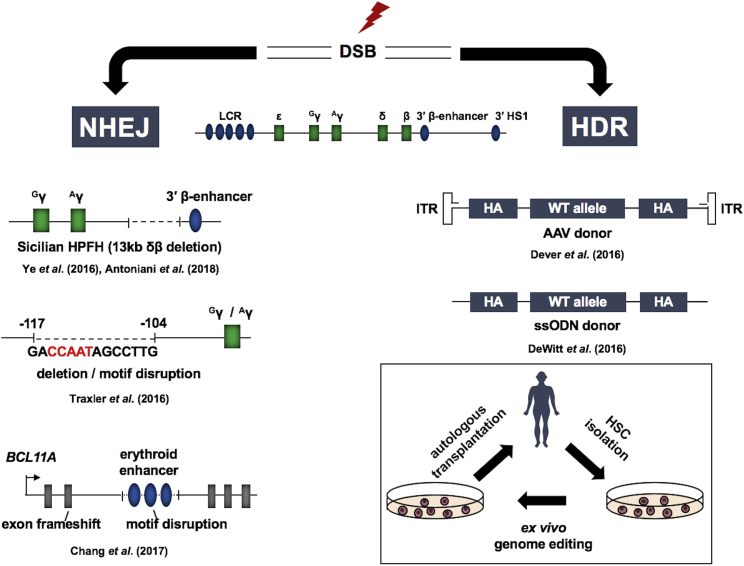 Elevation of γ-Globin Expression by Genome Editing Nucleases targeted to genomic sites create double-strand breaks (DSBs) that can be repaired by non-homologous end joining (NHEJ) or by homology-directed repair (HDR). Shown on the left are three examples for deletions causing increases in fetal hemoglobin production. The first shows the creation of a 13-kb deletion encompassing the δ- and <t>β-globin</t> gene. This deletion removes negative regulatory elements and positions the β-globin 3′ enhancer in close proximity to the γ-globin genes. The second example shows deletion of a repressor binding site in the γ-globin gene promoters. The third example shows creation of a frameshift in the coding region or a deletion of a positive DNA-regulatory element in one of the BLC11A erythroid-specific enhancers. Shown on the right are two examples for HDR-mediated correction of the sickle cell mutation. The first example shows an adeno-associated vector (AAV) that delivers the homologous arms (HAs), the therapeutic donor DNA, and a selectable marker (ITR: inverted terminal repeats). The second example shows a single stranded oligodeoxynucleotide containing 5′ and 3′ homologous arms (HAs) and the wild-type β-globin sequence. The diagram on the bottom right outlines the major steps involved in genome editing using autologous cell transplantation.