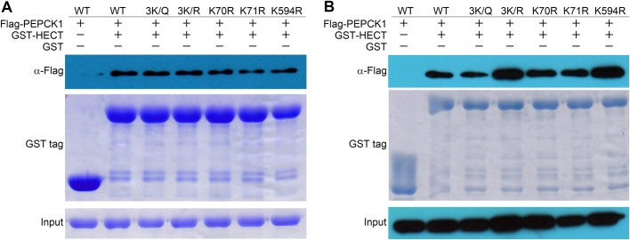 Pull-down assays of PEPCK1 and its mutants. (A) GST-HECT pull-down with PEPCK1 and its mutants (3K/Q, 3K/R, K70R, K71R, K594R) in vitro . (B) GST-HECT pull-down with PEPCK1 and its mutants (3K/Q, 3K/R, K70R, K71R, K594R) in vivo . Results indicate that the mutants of these three acetylation sites of PEPCK1 do not affect its binding with UBR5.
