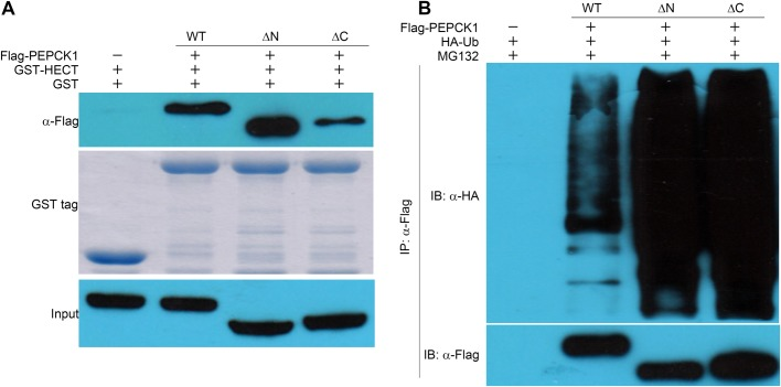 Pull-down and ubiquitination assays of PEPCK ΔN and ΔC in vivo . (A) GST-HECT pull-down with PEPCK ΔN (74-622 aa) and ΔC (1-560 aa). (B) Ubiquitination assays of these two PEPCK truncations expressed in HEK293T cells. Results indicate that PEPCK1 truncations which feature the loss of acetylation sites still could be recognized and ubiquitinated by UBR5.