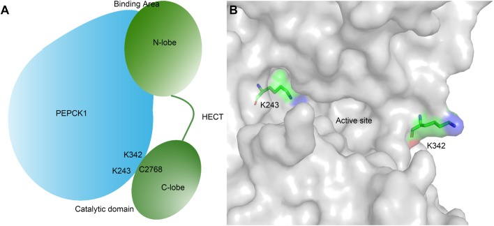 The role of two ubiquitination sites (K243 and K342) in the interaction between PEPCK1 and UBR5. (A) Schematic diagram of PEPCK1 and UBR5. UBR5 interacts with PEPCK1 through the HECT N-lobe, and catalyzes the PEPCK1 ubiquitination of K243 or K342 through C2468. The interaction site and catalytic site are of a two-versus-two relationship. (B) Location of the two ubiquitination sites of PEPCK1. The structure of PEPCK1 is shown as surface representation (gray). The two ubiquitination sites (K243 and K342) are shown as sticks and colored by elements. The two lysine residues are positioned at two opposite sides flanking the PEPCK1 active site and exposed to the surface, which makes them amendable to be ubiquitinated by UBR5.