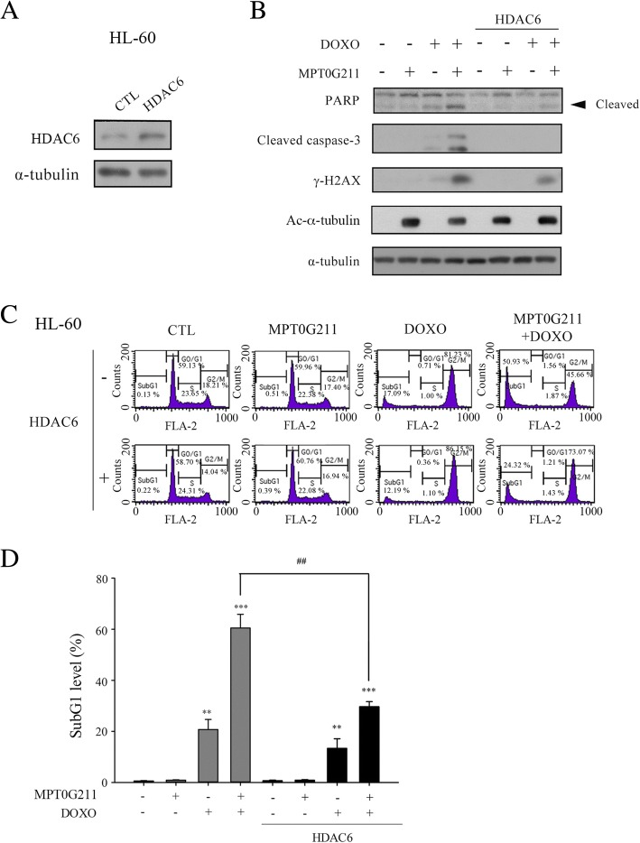 Ectopic expression of HDAC6 rescues cells from apoptosis induced by MPT0G211/doxorubicin combination. a HDAC6 levels were measured 18 h after transfection with an HDAC6-expression plasmid. b Following co-treatment with MPT0G211 and doxorubicin (DOXO) for 24 h, the levels of the apoptotic proteins poly-ADP ribose polymerase (PARP), caspase 3, γ-H2AX, and acetyl-α-tubulin were measured in HDAC6-overexpressing cells. c Cell cycle distribution was measured in HDAC6-transfected HL-60 cells following treatment with a combination of MPT0G211 and DOXO. A quantitative analysis of the proportions of cells in the sub-G1 phase of cell cycle is shown in d . Data are shown as means ± standard errors of the means. * p