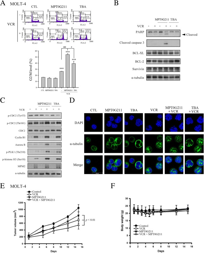 MPT0G211 sensitized MOLT-4 cells to vincristine-mediated mitotic arrest. a Cell cycle distributions of cells exposed to MPT0G211, tubastatin A (TBA), vincristine (VCR), or the indicated combination therapy for 24 h. A statistical analysis of the proportions of cells in the G2/M phase is shown in the right panel. b The levels of the apoptotic proteins caspase 3 and poly-ADP ribose polymerase (PARP) and the pro-survival proteins BCL-XL, BCL-2, and survivin were determined in cells treated with MPT0G211 (3 μM) or TBA (3 μM) in combination with VCR (1 nM) for 24 h. c The protein levels of cyclin B1, aurora B, p-CDC2, p-PLK, p-Histone 3, and MPM2 were evaluated following treatment with a combination of MPT0G211 or TBA with VCR for 24 h. d Cells were co-treated with MPT0G211 or TBA with VCR for 24 h and incubated with an <t>α-tubulin</t> antibody or DAPI. Microtubule dynamics were evaluated using a ZEISS LS 510META confocal microscope (magnification × 630). Scale bar = 20 μM. e Antitumor activity of MPT0G211 plus vincristine in a MOLT-4 xenograft model. When the tumor size reached 200 mm 3 , mice were injected with vehicle, vincristine (1 mg/kg, i.p., qwk), and MPT0G211 (30 mg/kg, i.p., qd) alone or a combination of both. The curves of tumor growth volume were expressed as mean ± SEM. f Changes of body weight after treatment. Data are shown as means ± standard errors of the means. * p