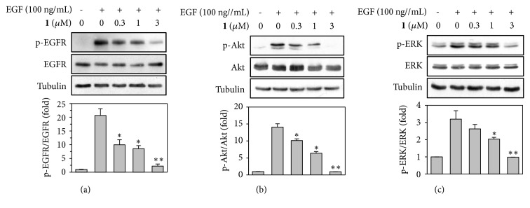 Effect of for 1 on EGF-induced activation of EGFR in PANC1 cells. (a, b, and c) Serum-starved PANC1 cells were stimulated with EGF (100 ng/mL) in the presence of the indicted concentrations of 1 for 5 min. Whole cell lysates were prepared and Western blotting was performed to determine the expression level of p-EGFR (a), EGFR (a), p-Akt (b), Akt (b), p-ERK (c), and ERK (c). α -Tubulin was used as a loading control. The blots were quantified by Image J software and the levels of p-EGFR, p-Akt, and p-ERK (normalized to EGFR, Akt, and ERK, respectively) were expressed as the mean ± SD of three independent experiments. ∗ P