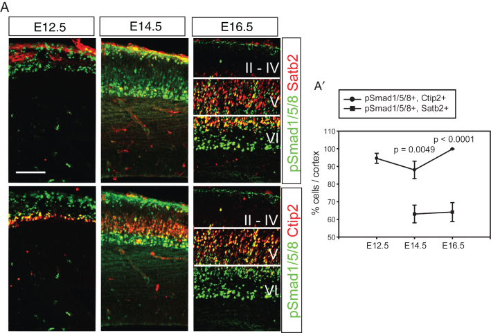 Activation of Bmp signaling in the postmitotic cortical neurons. A) Double staining of pSmad1/5/8 and Satb2 or Ctip2 during cortical neurogenesis. The same section was used to triple label pSmad1/5/8, Satb2 and Ctip2, and separate images are presented to show Satb2- and Ctip2-expressing neurons (red) in the presence of the same pSmad1/5/8 signals (green) in a tissue. A') Double-stained cells were plotted. Error bars represent the SEM. Student's t -test was conducted to determine the statistical significance of the difference between pSmad1/5/8+;Ctip2+ and pSmad1/5/8+; Satb2+ n = 3). Scale bars = 100 μm.