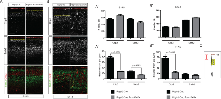 """Distribution of cortical neurons in the Pdgfrβ-Cre;Foxc1flx/flx meningeal mutant. Embryonic brains were stained for Satb2 or Ctip2 at E15.5 (A) and E17.5 (B). The numbers of Ctip2+ and Satb2+ neurons were plotted ( n = 4, A', B'). The distances between the pia and the Ctip2+ or Satb2+ neurons closest to the pia were plotted ( n = 4, A"""", B"""") (refer to the drawing in C). Error bars represent the SEM. Student's t -test was conducted to determine the statistical significance of the difference between the control and mutant embryos. The red dotted lines and the yellow dotted lines represent the pia and the sixth-closest Ctip2+ neurons to the pia, respectively. Scale bars = 100 μm."""