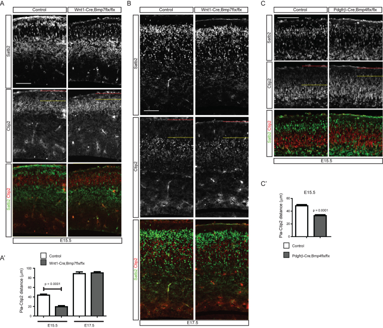 Distribution of cortical neurons in the meninges-specific Bmp mutants. A) E15.5 embryonic brains of Wnt1-Cre;Bmp7flx/flx mutants and their control littermates were stained for Ctip2 or Satb2. A') The distance of the pia and the Ctip2+ neurons were plotted ( n = 3). B) E17.5 embryonic brains of Wnt1-Cre;Bmp7flx/flx mutants and their control littermates were stained for Ctip2 or Satb2 ( n = 3). C) E15.5 embryonic brains of Pdgfrβ-Cre;Bmp4flx/flx mutants and their control littermates were stained for Satb2 or Ctip2. C') The distances between the pia and the Ctip2+ neurons were plotted ( n = 3). The red and yellow dotted lines represent the pia and the Ctip2+ neurons closest to the pia, respectively. Student's t -test was conducted to determine the statistical significance of the difference between the control and mutant embryos. Scale bars = 100 μm.