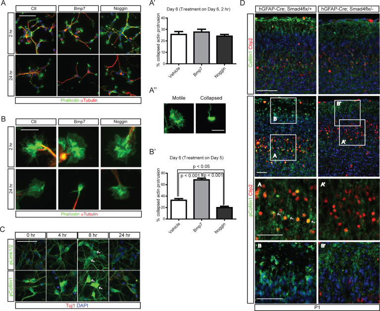 """Cytoskeletal changes in cortical neurons induced by Bmp signaling through regulation of cofilin-1 activity. A) E15.5 cortices were used to establish cortical neuronal culture for 5 days in vitro , when more than 50% of the neurons were positive for Ctip2+ (data not shown). Cells were treated with Bmp7 (20 ng/ml) or Noggin (40 ng/ml) for 2 hr on day 6 or 24 hr on day 5 (A) and collected at the same time on day 6 ( n = 3). B) High-magnification images of representative cells are presented. The numbers of cells having motile or collapsed neurites (A"""") were plotted for the 2 hr and 24 hr treatments (A', B'). We defined a neuron as having collapsed neurites when it had more than two collapsed neurites, and we counted more than 100 neurons with fewer than 3 neurites. C) Cortical neurons (Tuj1+, red) cultured for 5 days in vitro were stained for phospho-Limk1/2 (pLimk1/2, green) or phospho-cofilin-1 (pcofilin-1, green) after treatment with Bmp7 (20 ng/ml) ( n = 3). Tuj1 signal is not presented separately. D) P1 hGFAP-Cre;Smad4flx/- mutants and their control littermates were stained for cofilin-1, Ctip2 (top panels) and pcofilin-1 and Ctip2 (middle panels). High-magnification images from the boxed areas in the middle panels are presented in the bottom panels ( n = 3). Student's t -test was conducted to determine the statistical significance of the difference between the groups ( n = 3). Scale bars = 10 μm (A', B), 50 μm (A, C), 100 μm (D)."""