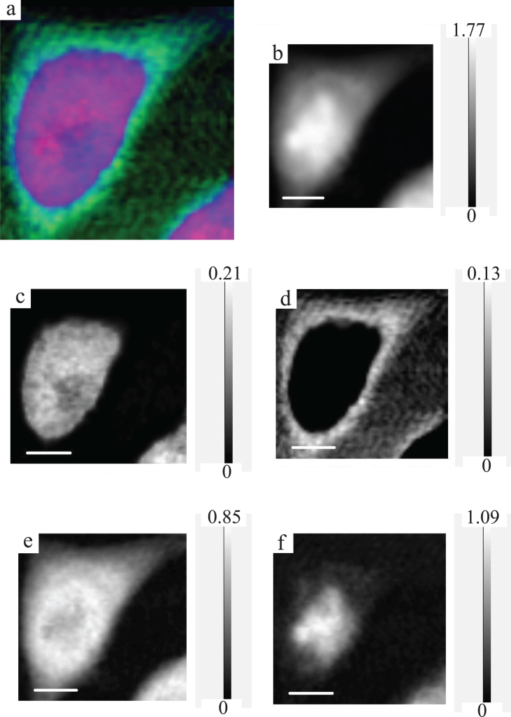RGB expression and optical density expression at the photon energy of 398 eV with gray scale of the CHO image. For RGB expression (a), DNA, RNA and protein are displayed as red, green and blue, respectively. Original (spect1) absorption image (b), DNA image (c), RNA image (d), protein image (e) and residual (spect3) image (f) at the photon energy of 398 eV are displayed with the gray scale of optical density.