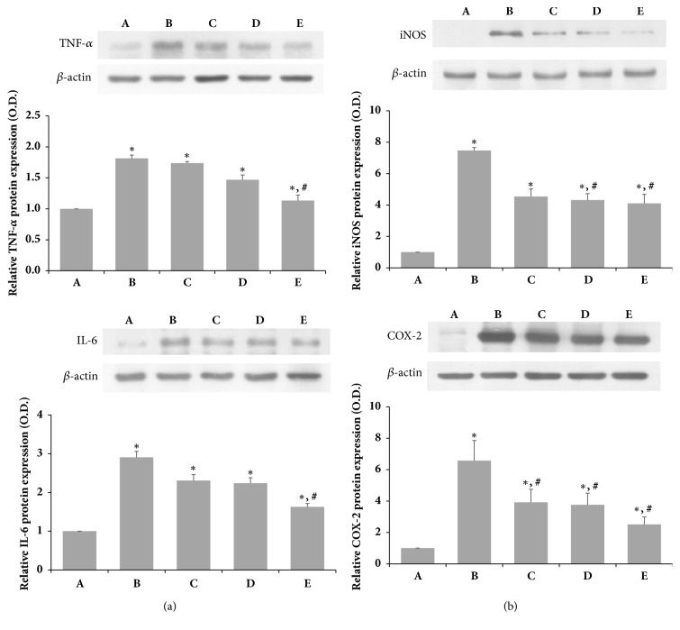 Effects of SSM on LPS-induced protein expression of TNF-α, IL-6, iNOS, and COX-2 . RAW 264.7 cells were induced with 1 μ g/mL LPS and various concentrations of SSM for 24 h. (a) Relative protein expression levels of TNF- α and IL-6. (b) Relative protein expression levels of iNOS and COX-2. Bands were detected using an enhanced chemiluminescence (ECL) detection kit. Actin was used as an internal control (46 kDa). (A) Control group, (B) 1 μ g/mL LPS-administered group, (C) 1 μ g/mL LPS-administered and 0.1 μ g/mL SSM-treated group, (D) 1 μ g/mL LPS-administered and 1 μ g/mL SSM-treated group, and (E) 1 μ g/mL LPS-administered and 10 μ g/mL SSM-treated group. The results are presented as the means ± standard errors of the mean (SEMs). ∗ P