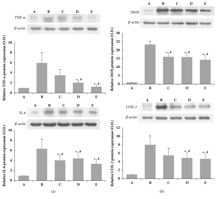 Effects of SSM on SNCI-induced protein expression of TNF-α, IL-6, iNOS, and COX-2 . The sciatic nerve was crushed for 30 s using a surgical clip. (a) Relative protein expression levels of TNF- α and IL-6. (b) Relative protein expression levels of iNOS and COX-2. Bands were detected using an enhanced chemiluminescence (ECL) detection kit. Actin was used as an internal control (46 kDa). (A) Sham operation group, (B) SNCI-induced group, (C) SNCI-induced and 0.1 g/kg SSM-treated group, (D) SNCI-induced and 1 g/kg SSM-treated group, and (E) SNCI-induced and 10 g/kg SSM-treated group. The results are presented as the means ± standard errors of the mean (SEMs). ∗ P