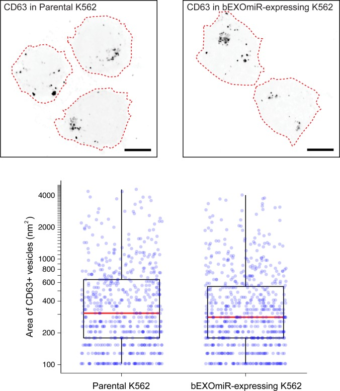 Characterization of CD63-positive structures in cells with or without bEXOmiR expression. Top, K562 cells visualized after centrifugation onto coverslips, immunostained for CD63; bottom, quantitation of total CD63-vesicle area. Each dot represents a single, CD63-positive structure in 18 or 20 parental or bEXOmiR expressing cells, respectively (n ~ 600 structures counted for each condition; mean ~32 structures per cell for the parental and ~34 for the bEXOmiR expressing cells. Red line indicates the median area for each population.