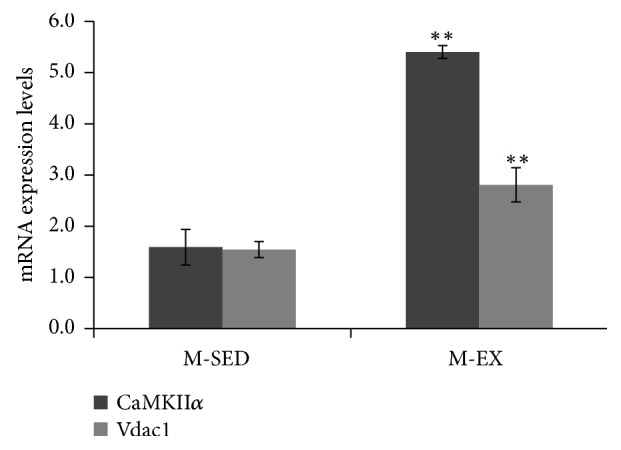 mRNA expression levels of CaMKII α and Vdac1 by RT-qPCR. M-SED, middle-aged sedentary control group; M-EX, middle-aged aerobic exercise runner group; ∗ ρ