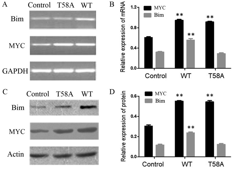 Expression levels of Bim in HCC1937 cells transfected with T58A and WT MYC. HCC1937 cells were stably infected with control, WT MYC or T58A MYC vectors. (A) Reverse transcription-semi-quantitative polymerase chain reaction analysis. (B) mRNA expression levels of MYC and Bim. (C) Western blot analysis. (D) Protein expression levels of MYC and Bim. GAPDH and β-actin were used as controls. Each value represents the mean ± standard deviation of three observations. **P