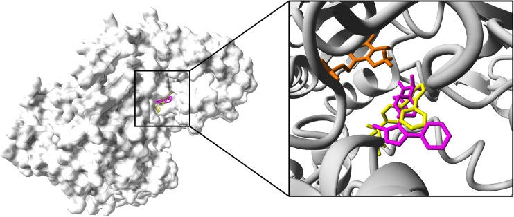 Binding pocket of parecoxib within the KAT II crystal structure. Two ligand orientations overlapping the KYN binding site within the KAT II (Han et al. 2008 ). Ligand at orientation 1 (yellow) and orientation 2 (magenta) is presented with co-factor; PMP (orange) all rendered in stick mode; KAT II molecular surface is shown in gray. Non-polar hydrogen atoms are hidden