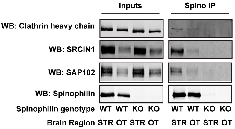 Validation of spinophilin interactions. WT or spinophilin KO striatal (STR) or olfactory tubercle (OT) lysates were immunoprecipitated with a spinophilin antibody. Lysates or immunoprecipitates were immunoblotted for spinophilin and three interacting proteins that were detected in the HA immunoprecipitates that had a decreased (SAP102) or increased (Clathrin heavy chain and SRCIN1) interaction with spinophilin in amphetamine-treated animals. Spinophilin and all associated proteins were detected in the spinophilin immunoprecipitates from WT animals, but were absent in immunoprecipitates isolated from KO animals.