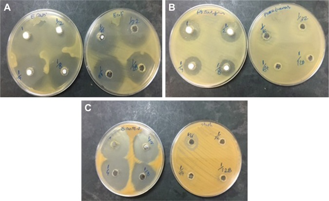 ( A – C ) Photographs of the zone of inhibition produced by ZVFe NP against three strains of bacteria. Note: ( A ) Escherichia coli , ( B ) Pseudomonas aeruginosa , and ( C ) Staphylococcus aureus . Abbreviation: ZVFe NPs, zero valent iron nanoparticles.