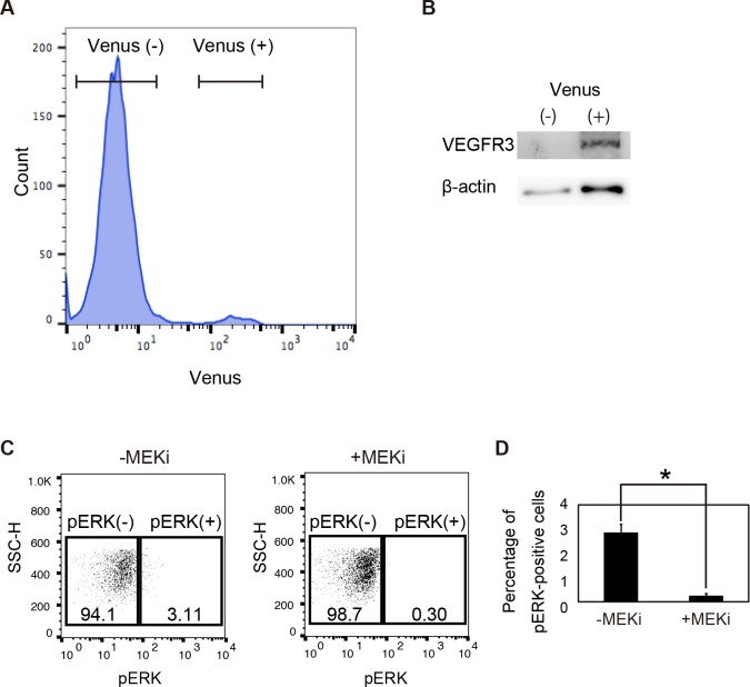 Detection of pERK signaling of vascular endothelial cells in Vegfr3-Gap43-Venus Tg embryos at <t>E9.5.</t> (A) Flow-cytometry analysis of Vegfr3-Gap43-Venus Tg embryos at E9.5. (B) Western blot analysis of Venus-positive and -negative cells from Tg embryos. (C) Phosphorylated ERK signaling in Venus-positive cells cultured in the presence or absence of the <t>MEK</t> inhibitor. (D) Percentage of pERK-positive cells in Venus-positive cells.