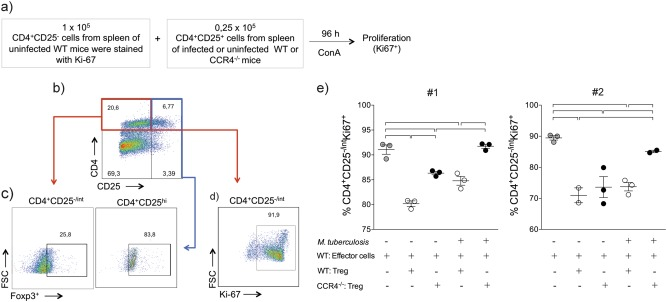 CCR4 regulates the suppressor function of regulatory T cells during M. tuberculosis infection. WT (white circles) and CCR4 −/− (black circles) mice were infected with M. tuberculosis as described in the Fig. 1 or left uninfected. At 70 days of infection, the spleens were collected. CD4 + CD25 − (effector) cells (1 × 10 5 ) purified from the spleens of uninfected WT mice were co-cultured with CD4 + CD25 + (regulatory) cells (0.25 × 10 5 ) from the spleens of uninfected or infected WT or CCR4 −/− mice. Co-cultures were stimulated with ConA and after 96 h, proliferation was assessed a . Foxp3 expression on CD4 + CD25 + cells b , c . Proliferation was assessed by the Ki-67 expression on CD4 + CD25 − cells d , e . As a positive control, CD4 + CD25 − cells were stimulated with ConA in the absence of CD4 + CD25 + cells (gray circles). Data from two reproduced experiments #1 and #2 ( n = 3–5) expressed as the mean ± SEM. Symbols represent individual animals and bars show the difference ( P