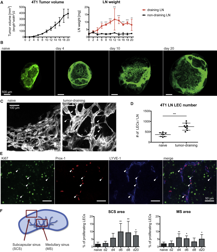 Lymphatic Network Expansion in Tumor-Draining LNs Is Mediated by LEC Sprouting and Proliferation (A) 4T1 primary tumor growth and ex vivo inguinal LN weight. (B and C) Maximum intensity projections of 3D light-sheet-microscope images of whole LNs stained for the lymphatic marker LYVE-1 (B) at different times or (C) 10 days after 4T1 injection. (D) FACS quantification of LECs in naive and 4T1 tumor-draining LNs at day 10. (E and F) Immunofluorescence staining of 4T1 tumor-draining LNs for the lymphatic markers Prox1 and LYVE-1 and the proliferation marker Ki67. (E) Representative image of a tumor-draining LN with arrowheads indicating proliferating LECs. (F) Schematic of the analyzed LN areas (left) and quantification of LEC proliferation in these areas (right). Statistical significance was determined by (A) two-way ANOVA, (D) unpaired Student's t test, or (F) one-way ANOVA. Data are shown as mean with SD and differences were considered statistically significant when p